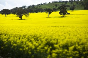 Photograph of Canola fields at Dookie Campus for Zoom background